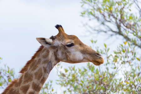 kruger national park: Giraffe head and neck profile, close up and portrait. Wildlife Safari in the Kruger National Park, the main travel destination in South Africa.