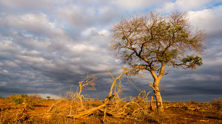 kruger national park: Golden sunrise in the african bush. Glowing Acacia tree hit by sunlight against dramatic sky. Landscape in the Kruger National Park, famous travel destination in South Africa.