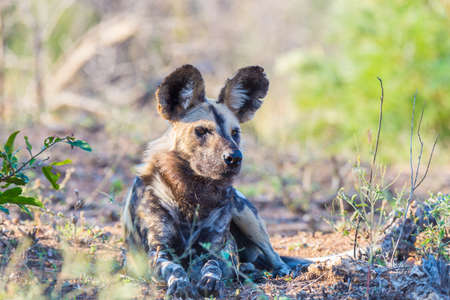 wild dog: Close up and portrait of a cute Wild Dog or Lycaon lying down in the bush. Wildlife Safari in Kruger National Park, the main travel destination in South Africa.