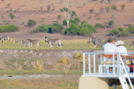 conservation grazing: Tourist watching herd of zebras grazing in the bush. Boat cruise and wildlife safari on Chobe River, Namibia Botswana border, Africa. selective focus on thr animals. Stock Photo