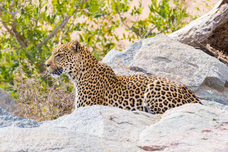 Big Leopard in attacking position ready for an ambush between the rocks and bush. Kruger National Park, South Africa. Close up.