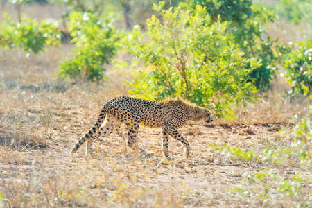 ambush: Majestic Cheetah in hunting position ready to run for an ambush. Kruger National Park, South Africa.