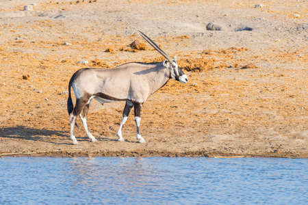 tanzania antelope: Oryx walking near waterhole in daylight. Wildlife Safari in Etosha National Park, the main travel destination in Namibia, Africa.