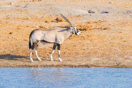 at waterhole: Oryx walking near waterhole in daylight. Wildlife Safari in Etosha National Park, the main travel destination in Namibia, Africa.