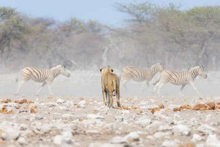 Jonge mannelijke leeuw, klaar voor de aanval, lopen naar kudde van Zebras weglopen, defocused op de achtergrond. safari wilde dieren in het Etosha National Park, Namibië, Afrika. Stockfoto
