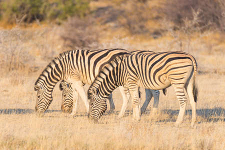 Herd of Zebras grazing in the bush. Glowing warm sunset light. Wildlife Safari in the african national parks and wildlife reserves.