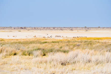 expansive: Herd of Zebras grazing in the bush. Wildlife Safari in the Etosha National Park, majestic travel destination in Namibia, Africa. Scenic expansive desert landscape in daylight.
