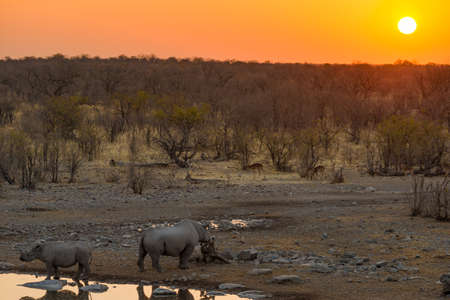 pozo de agua: Rara Negro rinocerontes pozo de agua potable de la puesta del sol. Wildlife Safari en el Parque Nacional de Etosha, el principal destino de viaje en Namibia, África.