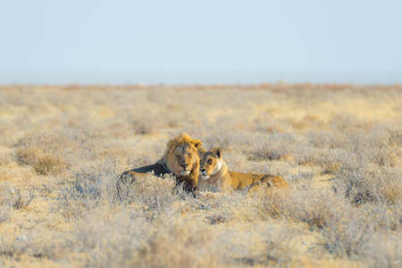 Couple of Lions lying down on the ground in the bush. Wildlife safari in the Etosha National Park, main tourist attraction in Namibia, Africa. Stock Photo