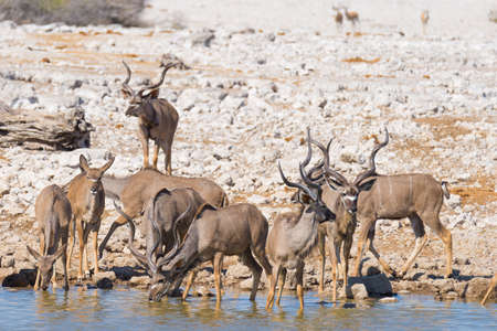 Herd of Kudu drinking from waterhole. Wildlife Safari in the Etosha National Park, majestic travel destination in Namibia, Africa. Фото со стока