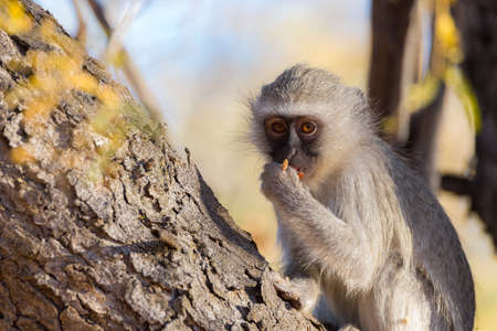 Vervet monkey (Chlorocebus pygerythrus) eating nuts on a tree in the Marakele National Park, travel destination in South Africa. Close up.