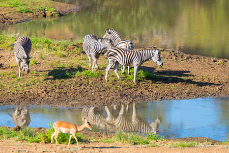pozo de agua: Herd of Zebras drinking from Shingwedzi river in the Kruger National Park, major travel destination in South Africa.