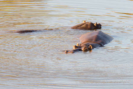 pozo de agua: Hippos in the water, Kruger National Park, famous travel destination in South Africa.