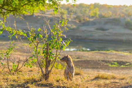 hienas: Spotted Hyena standing in the bush at sunrise. Wildlife Safari in Kruger National Park, the main travel destination in South Africa.