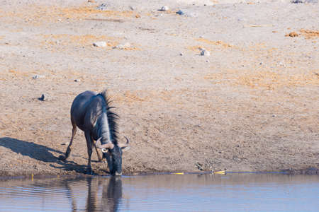 tanzania antelope: Blue Wildebeest kneeling and drinking from waterhole in daylight. Wildlife Safari in Etosha National Park, the main travel destination in Namibia, Africa. Stock Photo
