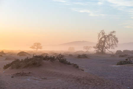 The Namib desert, roadtrip in the wonderful Namib Naukluft National Park, travel destination in Namibia, Africa. Braided Acacia tree and red sand dunes. Morning light, mist and fog.