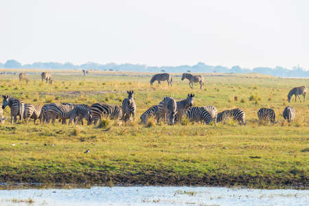 Zebras walking on Chobe River bank in backlight at sunset. Scenic colorful sunlight at the horizon. Wildlife Safari and boat cruise in the Chobe National Parks, Namibia Botswana border.