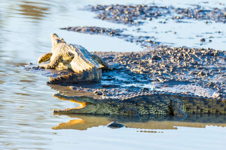 alligators: Crocodiles on river bank. Safari in Kruger National Park, travel destination in South Africa. Stock Photo