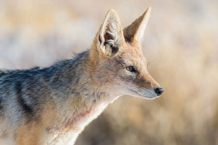 Close up and portrait of a cute Black Backed Jackal walking in the bush. Wildlife Safari in Etosha National Park, the main travel destination in Namibia, Africa. Stock Photo