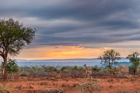 Golden sunrise in the african bush. Giraffe walking in wonderful landscape and dramatic colorful sky. Kruger National Park, famous travel destination in South Africa. Stok Fotoğraf