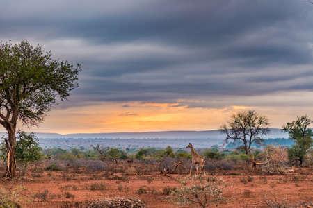 Gouden zonsopgang in de Afrikaanse struik. Giraf die in prachtig landschap en dramatische kleurrijke hemel loopt. Kruger National Park, beroemde reisbestemming in Zuid-Afrika. Stockfoto
