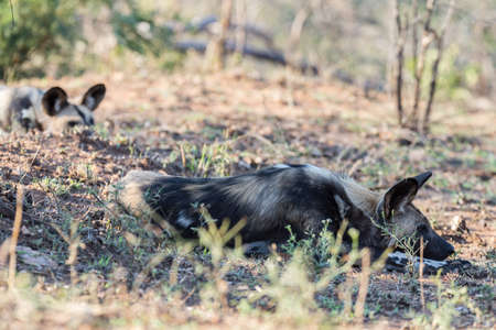 scavenger: Close up and portrait of a cute Wild Dog or Lycaon lying down in the bush. Wildlife Safari in Kruger National Park, the main travel destination in South Africa.