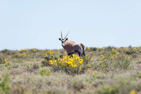 Oryx walking in the bush. Wildlife Safari in the Karoo National Park, travel destination in South Africa.