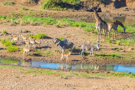 Herd of Zebras, Giraffes and Antelopes grazing on Shingwedzi riverbank in the Kruger National Park, major travel destination in South Africa. Idyllic frame. 스톡 콘텐츠