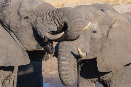 pozo de agua: Couple of African Elephants, young and adult, at waterhole. Wildlife Safari in the Chobe National Park, travel destination in Botswana, Africa.