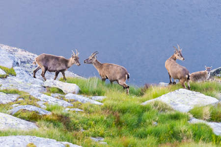 Group of Ibex perched on rock looking at the camera with blue lake background.