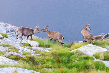 Gruppe des Steinbocks hockte auf dem Felsen, der die Kamera mit blauem Seehintergrund betrachtet. Standard-Bild - 85073029