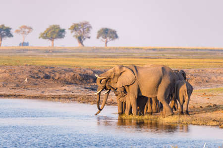 Group of African Elephants drinking water from Chobe River at sunset. Wildlife Safari and boat cruise in the Chobe National Park, Namibia Botswana border, Africa.