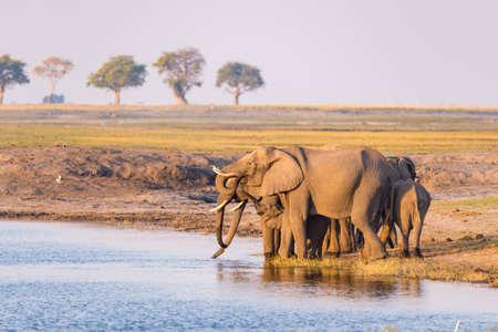 アフリカ象夕暮れ時は、チョベ川から水を飲むのグループ。野生動物サファリ、ボートは、アフリカ、ボツワナのチョベ国立公園、ナミビア国境をクルーズします。