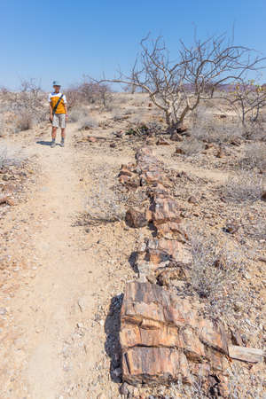 Petrified and mineralized tree trunk. Tourist in the famous Petrified Forest National Park at Khorixas, Namibia, Africa. 280 million years old woodland, climate change concept