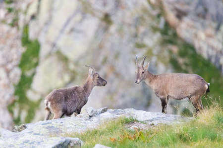 Two female Ibex facing each other on rock in the Italian french Alps. Stock Photo