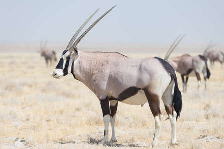 Oryx standing in the african savannah, the majestic Etosha National Park, best travel destination in Namibia, Africa.