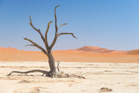 The scenic Sossusvlei and Deadvlei, clay and salt pan with braided Acacia trees surrounded by majestic sand dunes. Namib Naukluft National Park, must see and travel destination in Namibia.