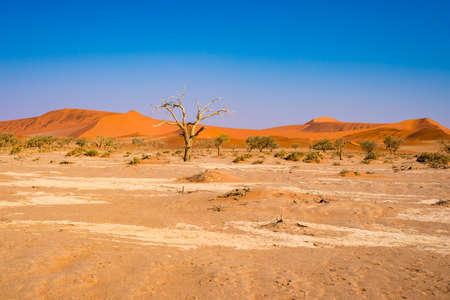 Acacia trees and sand dunes at Sossusvlei, Namib Naukluft National Park, Namib desert, scenic travel destination in Namibia, Africa.