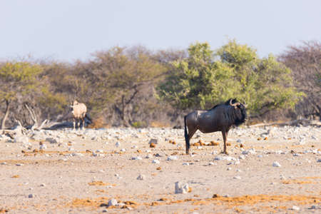 Blue Wildebeest walking in the bush. Wildlife Safari in the Etosha National Park, famous travel destination in Namibia, Africa. Stock Photo