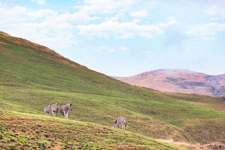 Zebras grazing in the mountain at Golden Gate Highlands National Park, travel destination in South Africa.