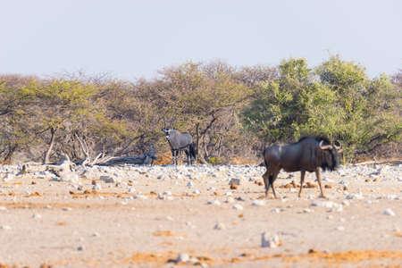 Blue Wildebeest walking in the bush. Wildlife Safari in the Etosha National Park, famous travel destination in Namibia, Africa. Banco de Imagens