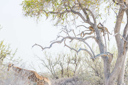 Leopard perching on Acacia tree branch against white sky. Giraffe walking undisturbed