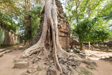 Ta Prohm famous jungle tree roots embracing Angkor temples, revenge of nature against human buildings, travel destination Cambodia.