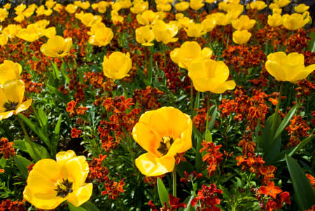 Field of yellow and red flowers, focus on the closest flower Stock Photo