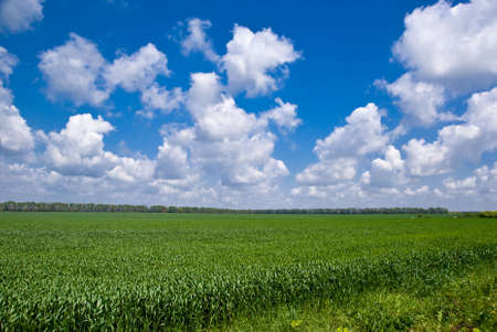 patchy: Sweetcorn field under a patchy sky in Bulgaria Stock Photo
