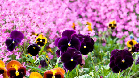 Violets in front of a blurred background of pink flowers. Botanic Garden in Balchik, Bulgaria.