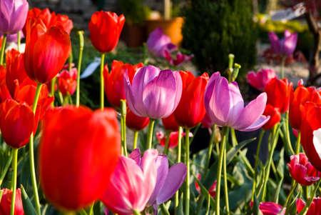 Colorful Tulips in Balchik Botanic Garden Stock Photo