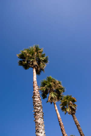 Three palms against the clear blue sky photo