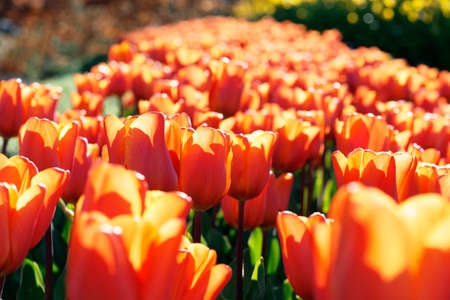 Bed of tulips. Back lit. Shallow depth of field.