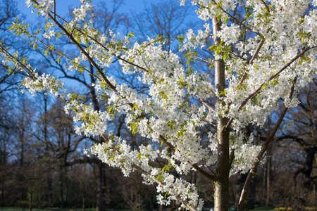 prunus: Blossom tree, Prunus Serrulata